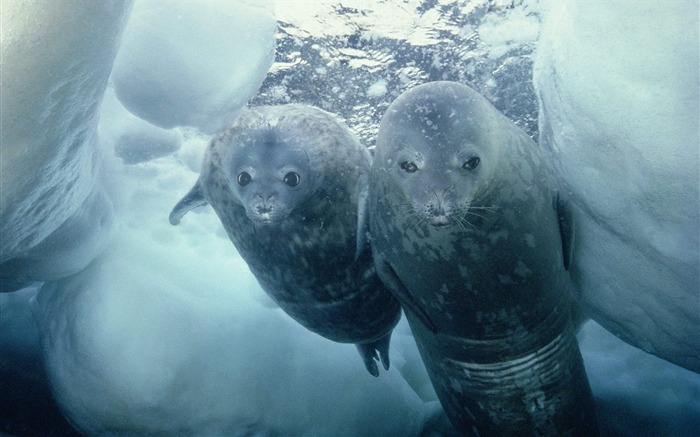 Weddell Seal and Pup Antarctica Views:4819