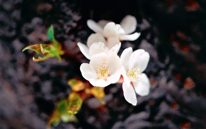 White Plum Blossom Beautiful Flower Photogtaphy Picture Views:4241