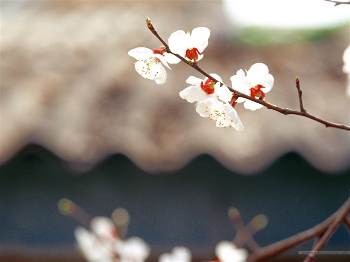 White Plum Blossoms Picture Views:3609