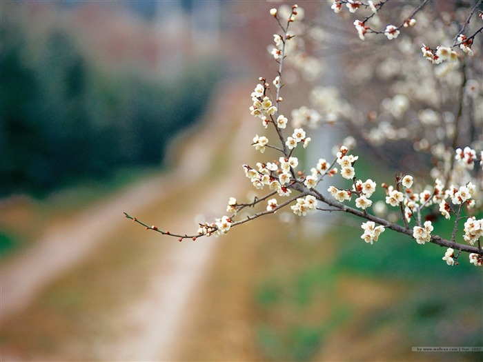 White Plum Blossoms in Spring Picture Views:4306
