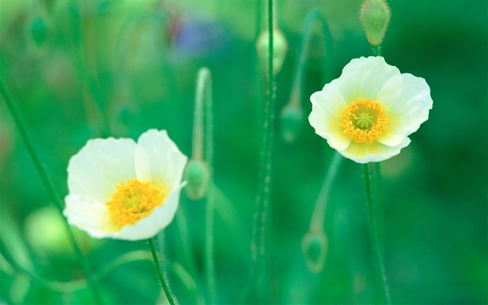White Poppy Flowers in Field Picture Views:6040