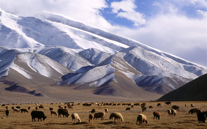 Xinjiang grazing cattle and sheep wallpaper Views:8190