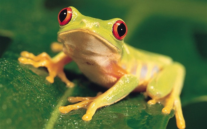 beautiful red eye tree frog wallpaper Views:8685