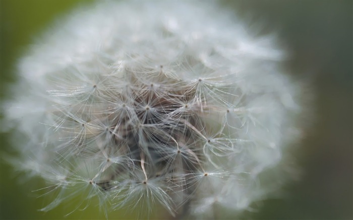 close up of dandelion Picture Views:4963