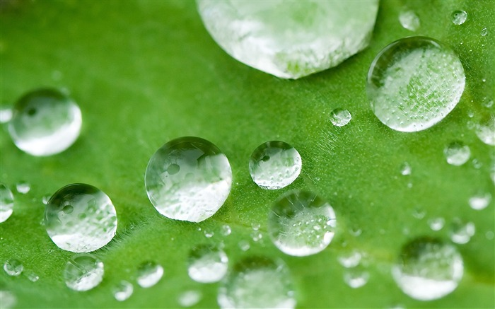 drops of water on a lotus leaf wallpaper Views:13337