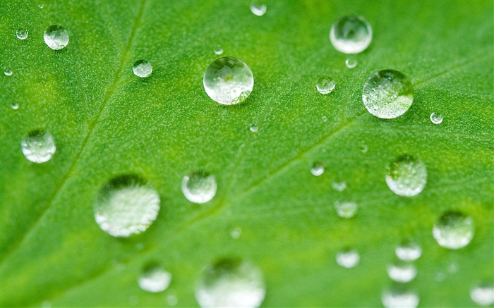 drops of water rolling on a lotus leaf wallpaper Views:20015