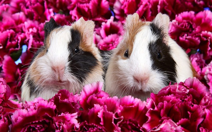 guinea pigs guinea pig wallpaper Views:6343