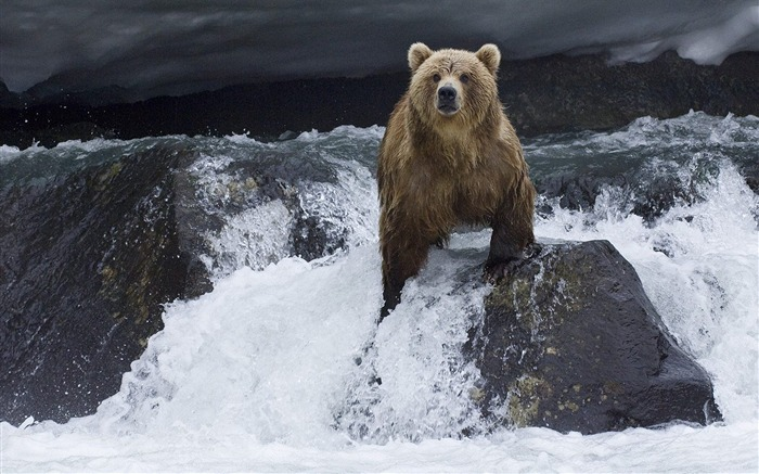 is the Russian brown bear salmon prey wallpaper Views:24986