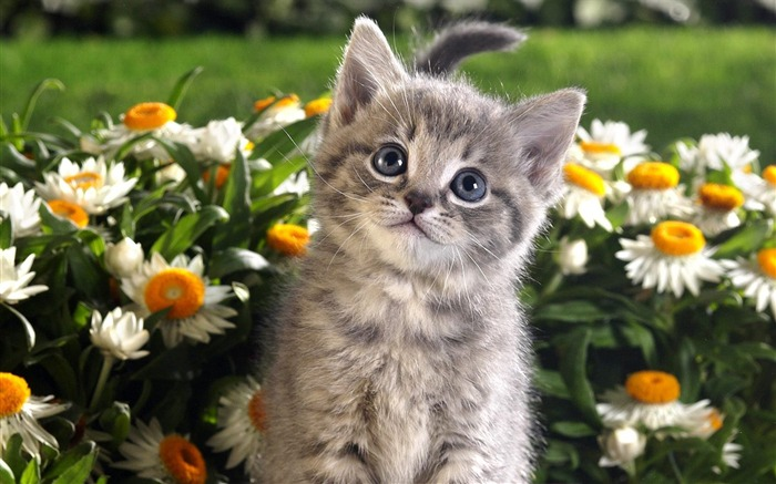 small tabby cat wallpaper Views:43823