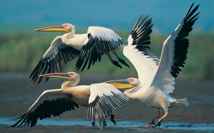 white pelican wallpaper Views:4321