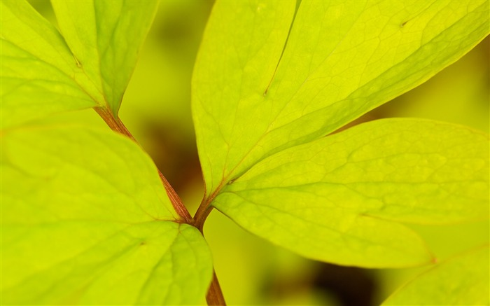 yellow-green leaves wallpaper Views:12853