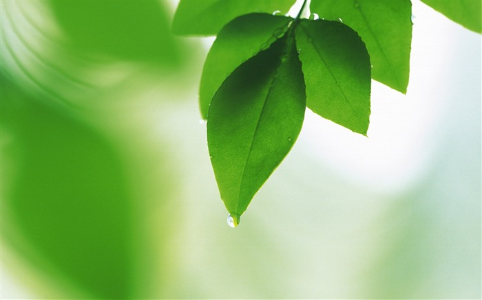 11 Soft Focus Green Leaves Pictures-Ethereal Green Leaves photos  Views:11327