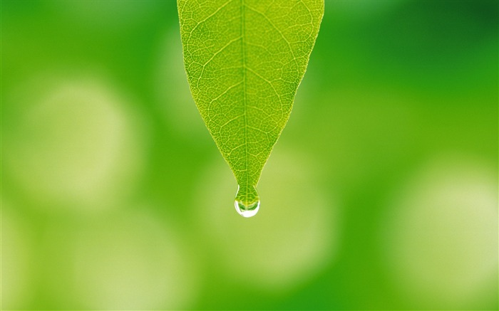 15 photo-A water drop hanging on leaf tip-Dewdrop on green leaf photo  Views:21762
