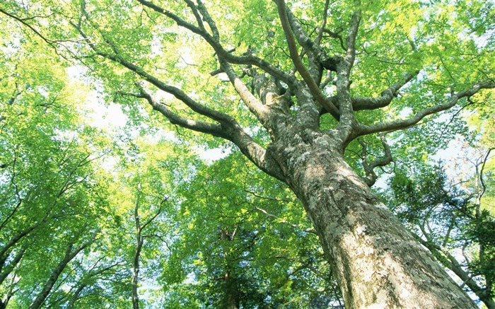阳光透过树木葱郁的参天大树照片