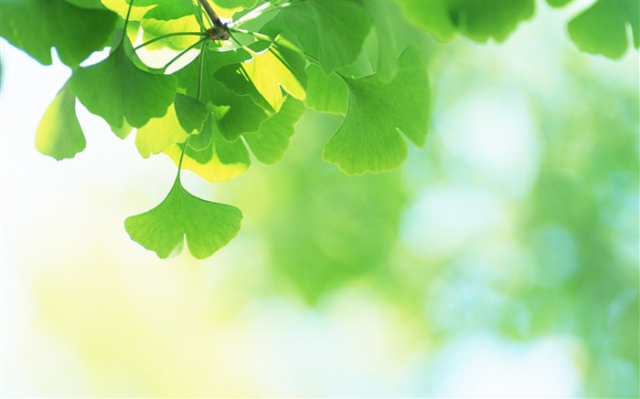 22 Soft Focus Ginkgo Leaves photo-Ethereal Dreamy Ginkgo Leaves Views:15889