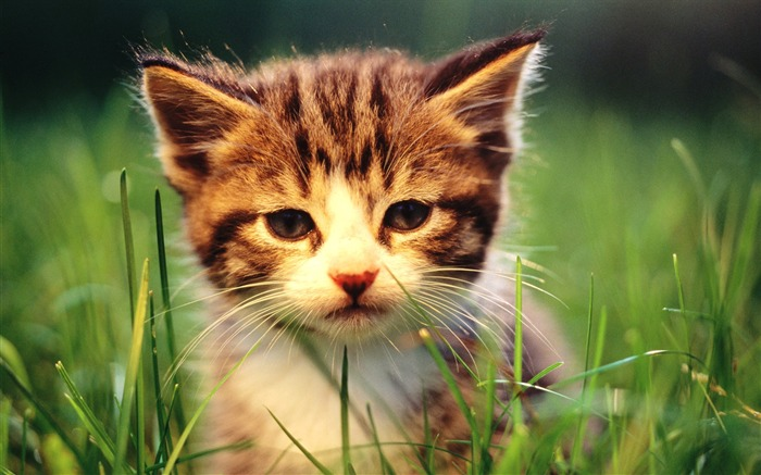 Sweet Kitty-Adorable Fluffy Baby Kittens Wallpapers Views:14076