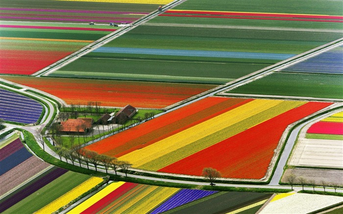2 Amsterdam The Netherlands-Tulip Field wallpaper Views:14879