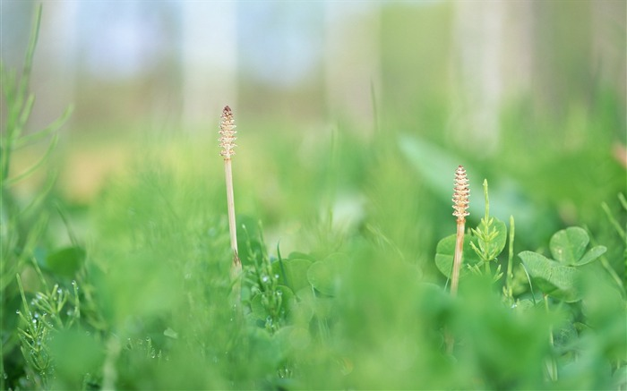 35 Soft Focus Horsetail Photo-Soft Dreamy Horsetails in field Photos  Views:3096