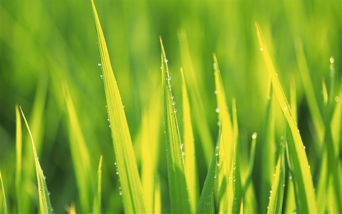 38 soft focus Grass photo-Yellowish Green Grass with dewdrops photos Views:8629