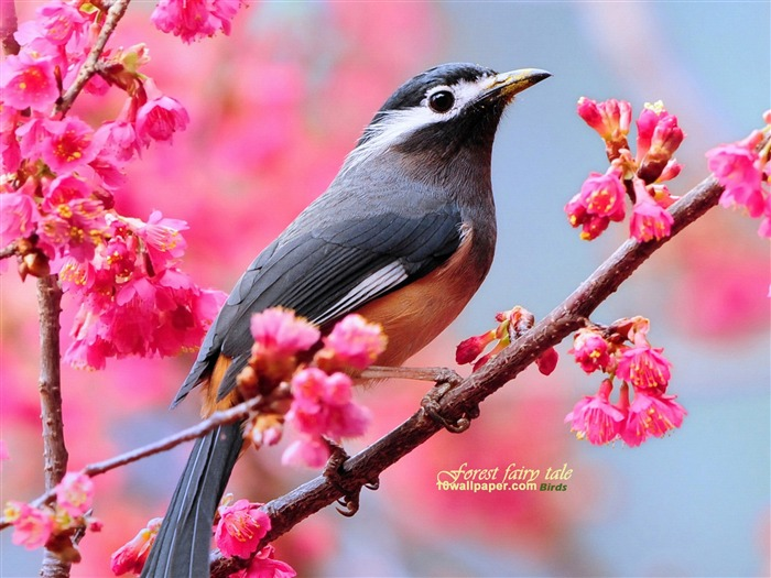 Woods wizard Spring cute bird wallpaper Views:64837