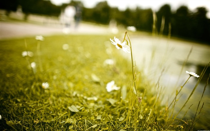 White wildflowers grass-Alternative Landscape Photography Views:4219