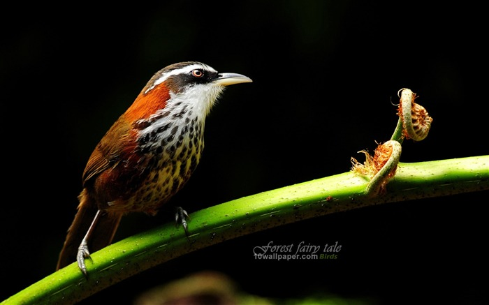 branches birds-small scimitar babbler wallpaper