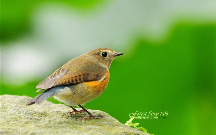 fertilizer birds-blue-tailed Robin Orange-flanked Bush Robin wallpaper