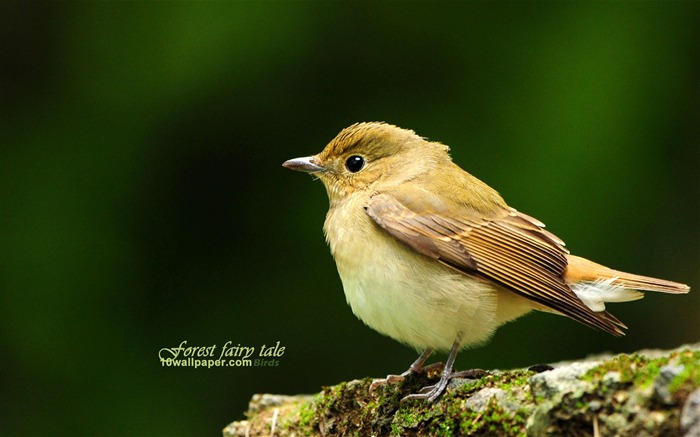 forest bird-lovely spring bird wallpaper