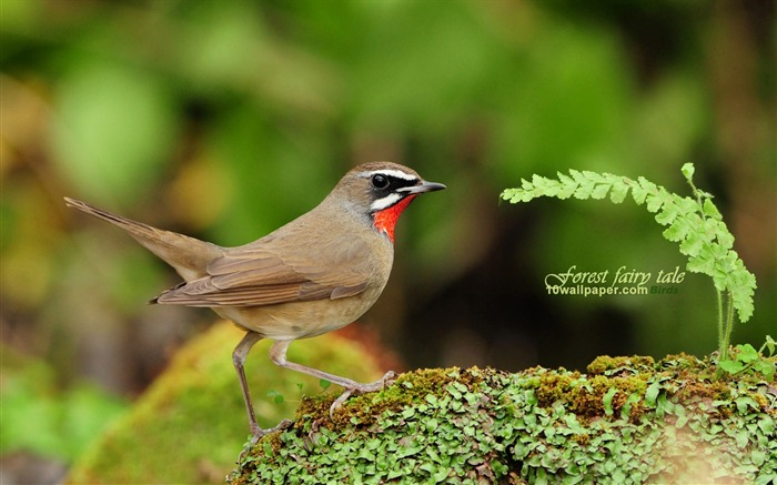 forest birds-Red-throated Robin Siberian Rubythroat wallpaper wild