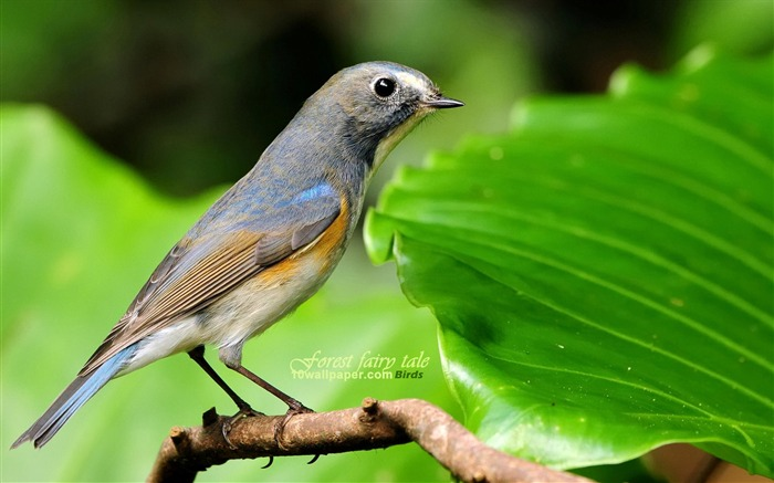 forest birds-blue-tailed Robin Orange-flanked Bush Robin wallpaper Views:10929