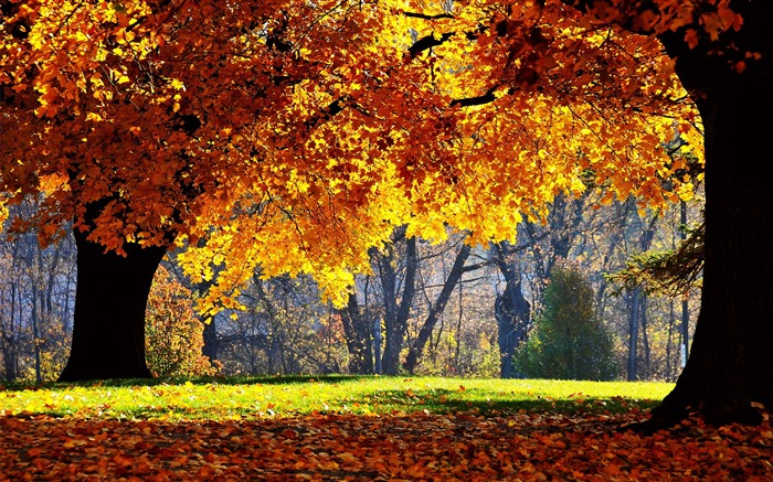Autumn maple forest- Autumn Landscape wallpaper Views:87847