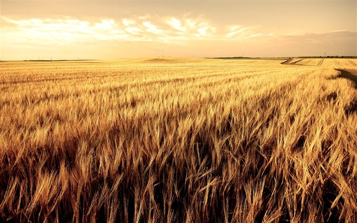 Autumn wheat- Autumn Landscape wallpaper Views:10710