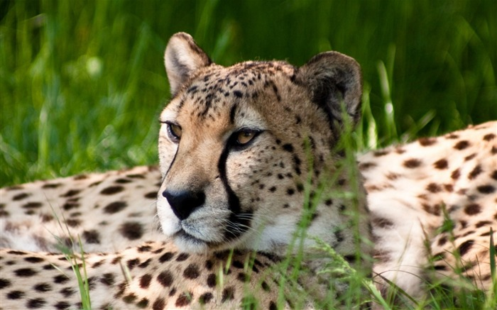 Cheetah Dual Monitor-Animal World Series Wallpaper Views:3928