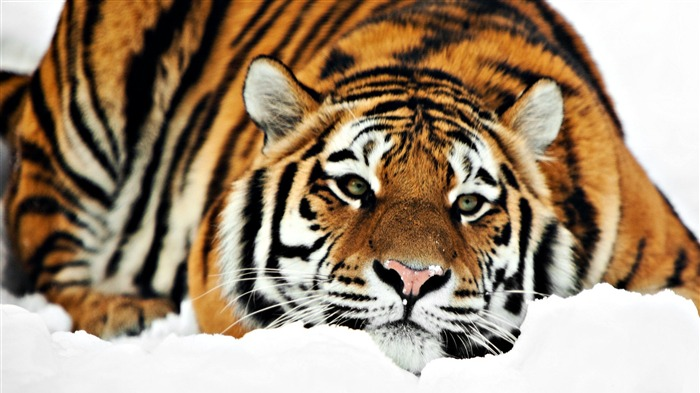 Cute tiger-Animal World Series Wallpaper Views:14510