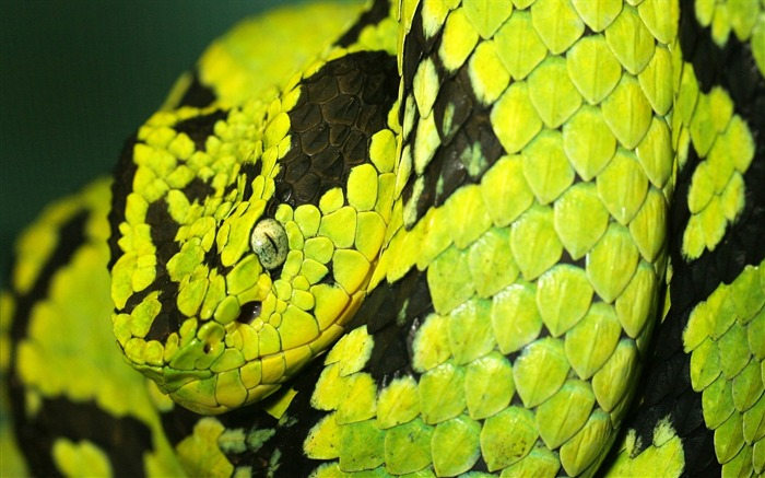 Deadly Snake-Animal World Series Wallpaper Views:8553