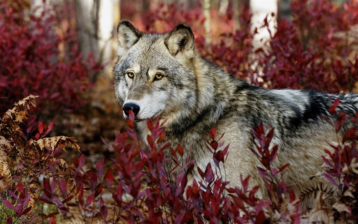 Gray wolf-Animal World Series Wallpaper Views:18607
