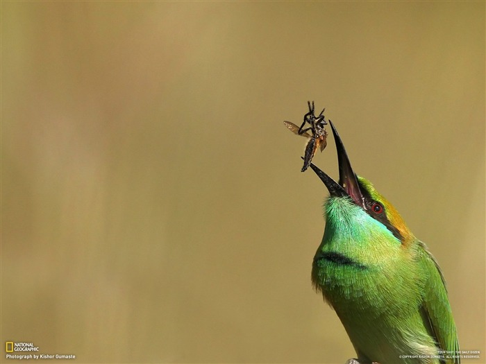 Green throat Bee-eater-National Geographic-Photo of the Day Views:4765