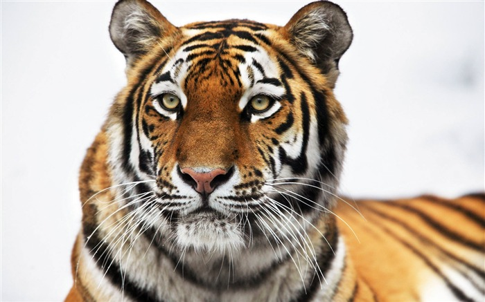 HD Siberian tiger-Animal World Series Wallpaper Views:20844
