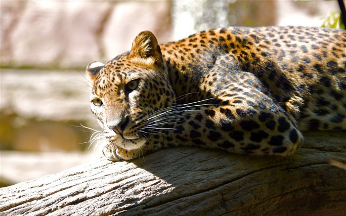 Leopard territory-Animal World Series Wallpaper Views:6328