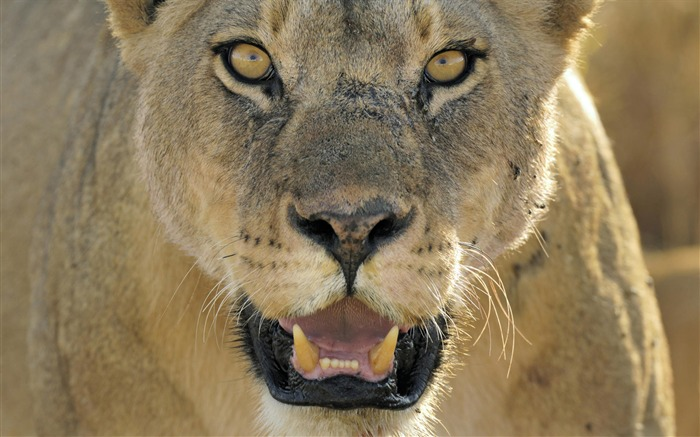 Lion face close-up-Animal World Series Wallpaper Views:5242