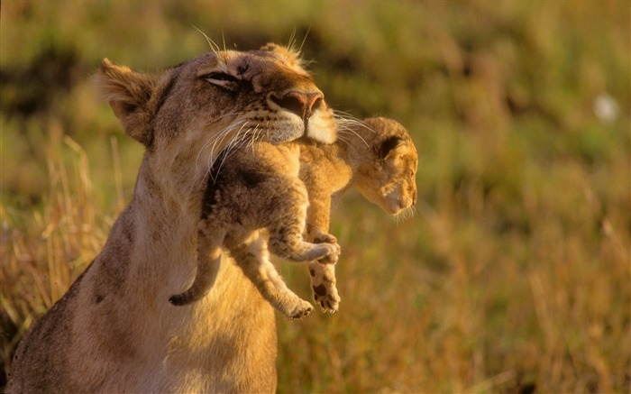 Lioness and its child-Animal World Series Wallpaper Views:6593