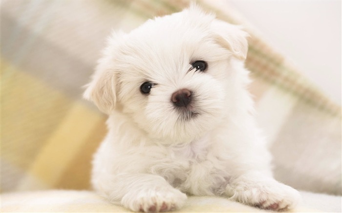 Maltese Puppy-Animal World Series Wallpaper Views:9478