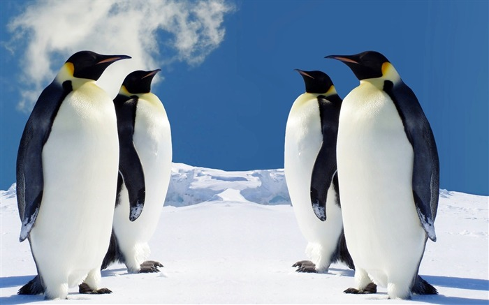 Naive penguin-Animal World Series Wallpaper Views:9018