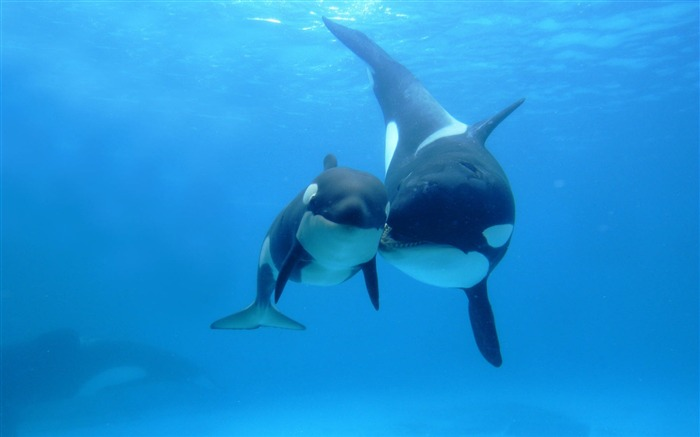 Orca Killer Whale Under Sea-Animal World Series Wallpaper Views:35699