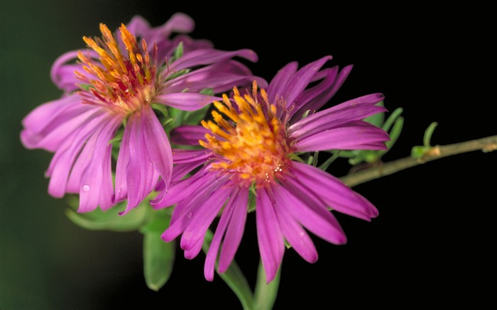 Pair of pink daisy-Summer romance Feelings Views:5813