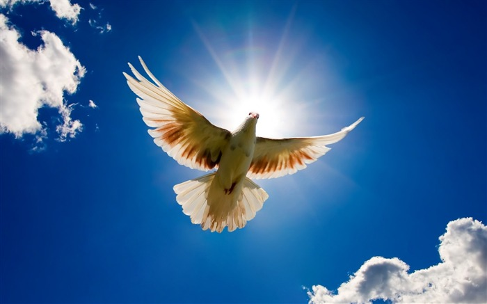 Peace dove flying in the sky-Animal World Series Wallpaper Views:29853
