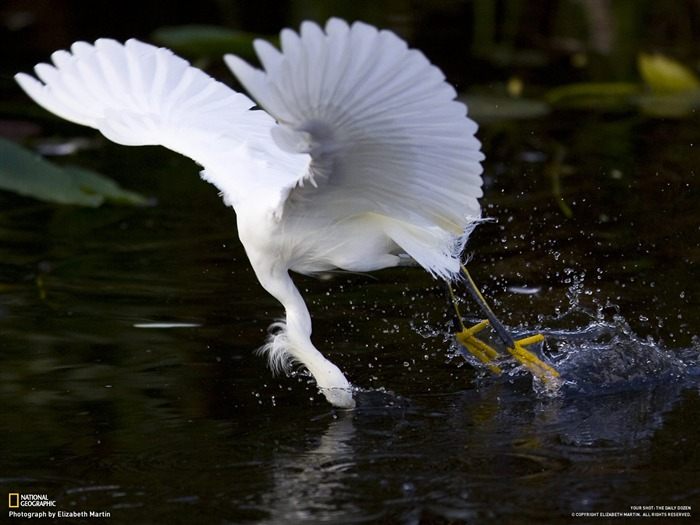Prey in - snow heron-National Geographic-Photo of the Day Views:10592