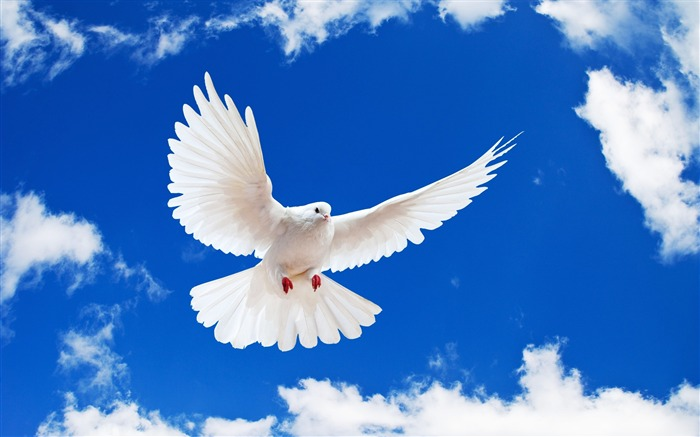 Pure Dove-Animal World Series Wallpaper Views:14412