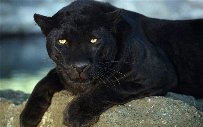 Rest of the Black leopard-Animal World Series Wallpaper Views:17620
