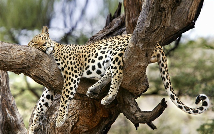Sleeping leopard in a tree-Animal World Series Wallpaper Views:7438